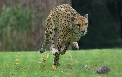 В американському зоопарку усипили гепарда Сару