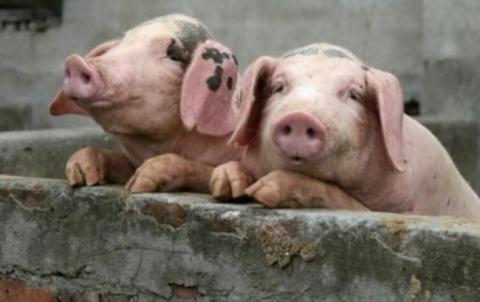 На Буковині знищують свиней через африканську чуму