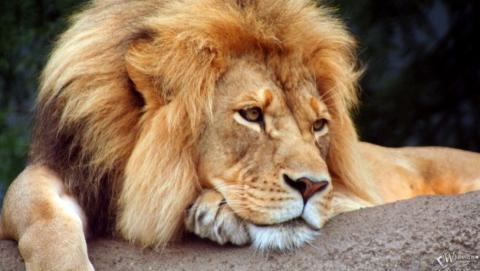 Лев у Самборі напав на людей, які намагалися його погодувати