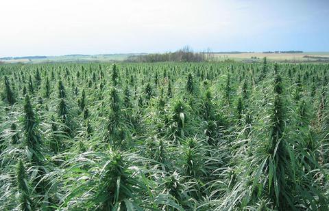 У зоні АТО виявили два з половиною гектари конопель (ВІДЕО)