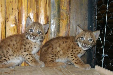 В Київському зоопарку народилися рисенята