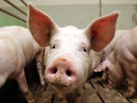 У Сумській, Миколаївській та Одеській областях зафіксовані випадки африканської чуми свиней