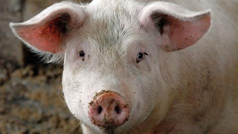 На Кіровоградщині спалах африканської чуми свиней
