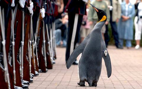 Пінгвін став бригадним генералом Королівської гвардії Норвегії (ВІДЕО)