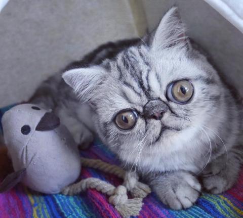 Кіт Герман вражає своїми величезними переляканими очима