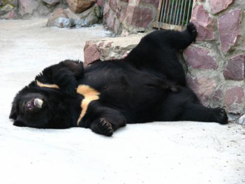 В російському селі п'яна ведмедиця заснула на порозі сараю