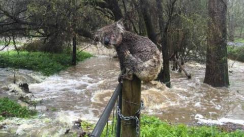 Водопровідник з Південної Австралії врятував коалу