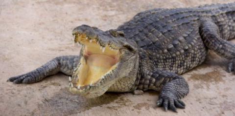 Австралійка прогнала гігантського крокодила капцем (ВІДЕО)