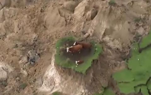 У Новій Зеландії три корови дивом врятувалися на клаптику землі (ВІДЕО)