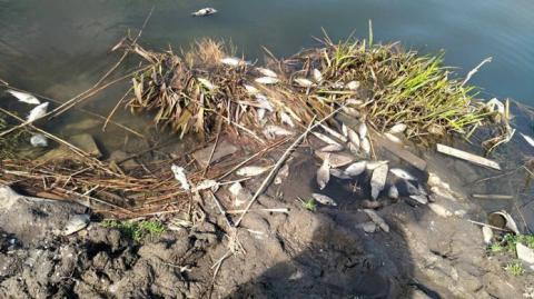 У Львівській області масово вмирає риба у водоймах (ФОТО)