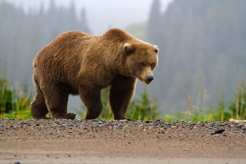 Вражаючі фото ведмедів, які сваряться (ФОТО)