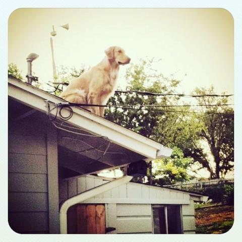 """Пес, що """"зависає"""" на даху, зачарував соцмережі (ФОТО)"""