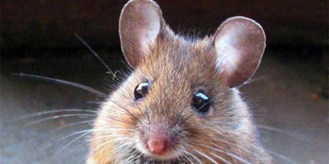 Голодні пацюки перешкодили відтворюваності експериментів