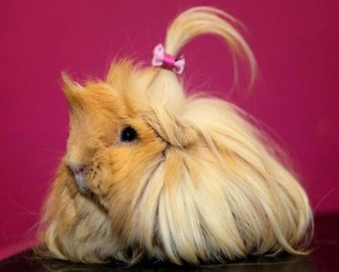 Морські свинки: які бувають стильні зачіски у тварин (ФОТО)