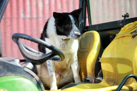 В Великобританії собака переїхала свого хазяїна