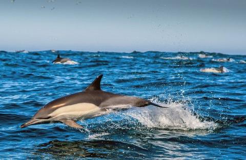 У Каліфорнійській затоці дельфіни врятують останній вид морських тварин
