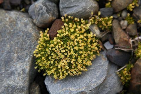 Рослини Антарктики захистять людей від ультрафіолету