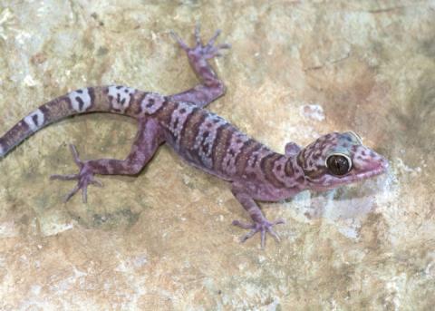 У М'янмі виявили 19 раніше не відомих видів геконів
