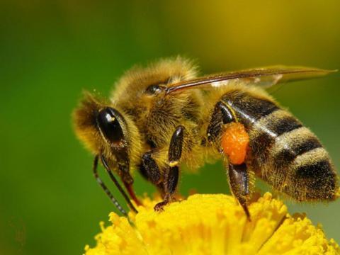Гриби допоможуть врятувати бджіл від вимирання,– дослідження вчених