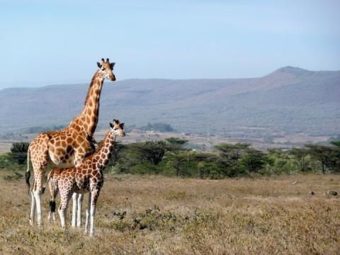 Вижити у савані: Біологи пояснили, для чого і чому виникли плями у жирафів