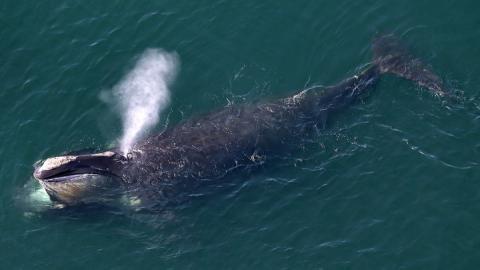 Популяція атлантичних китів різко знижується через міцні рибальські сітки
