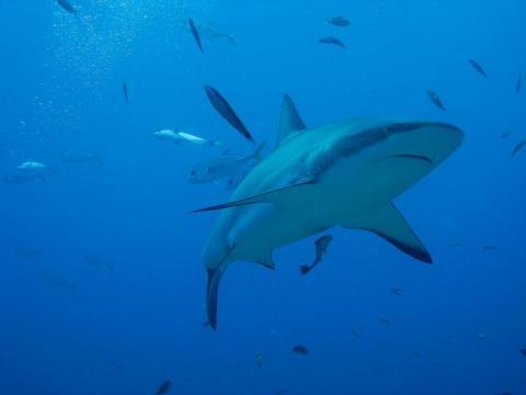 В Австралії акула напала на серфера – він дивом вижив