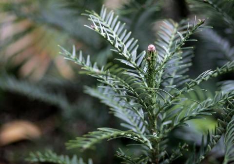 Понад 50 видів австралійських рослин можуть зникнути протягом десятиліття