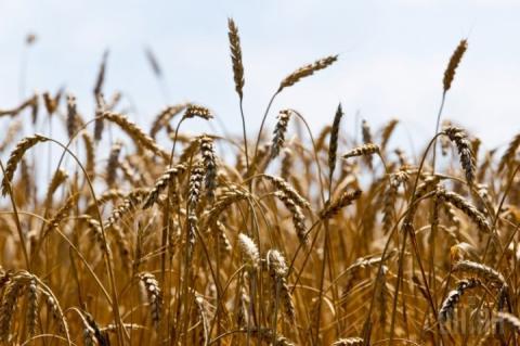 Світове споживання пшениці перше за 6 років перевищило виробництво