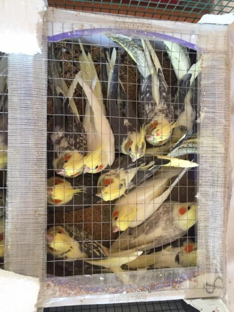 Українець намагався пронести в Білорусь ящик зі 150 папугами