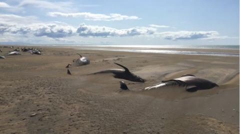 Кілька десятків «чорних дельфінів» викинулися на береги Ісландії і загинули