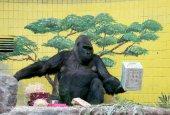 У Київському зоопарку відсвяткували 45-річчя єдиної горили в Україні. Фото