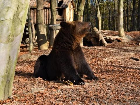 Тепло не дає впасти у сплячку ведмедям у Карпатах