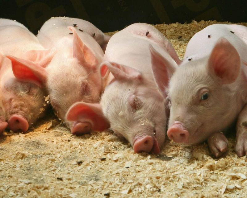 Селян пропонують звільнити від податку на свинарники