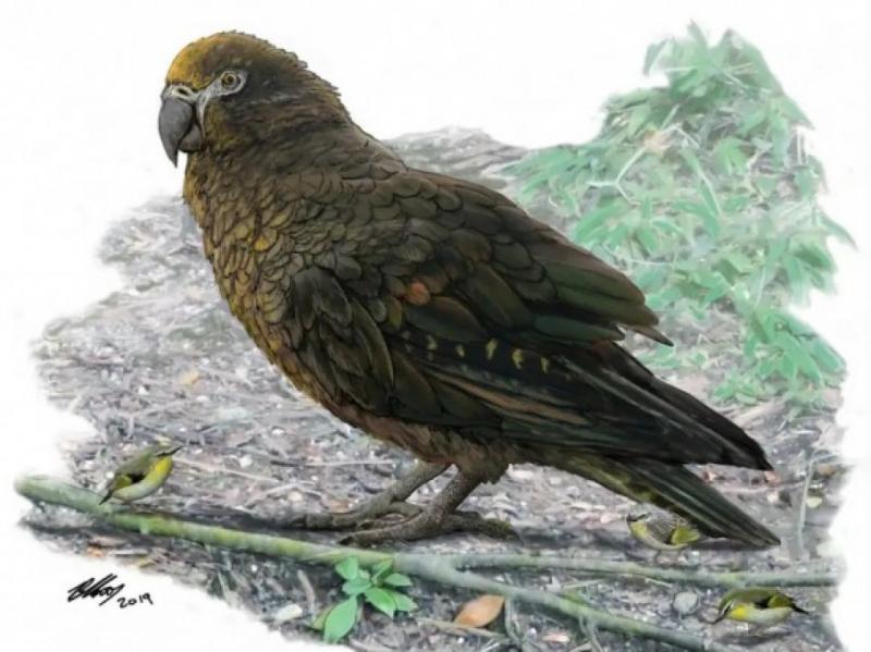 Вчені у Нової Зеландії виявили гігантського папугу-канібала