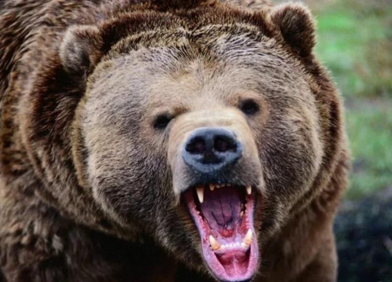 У Росії ведмідь напав на військових, один з них у комі