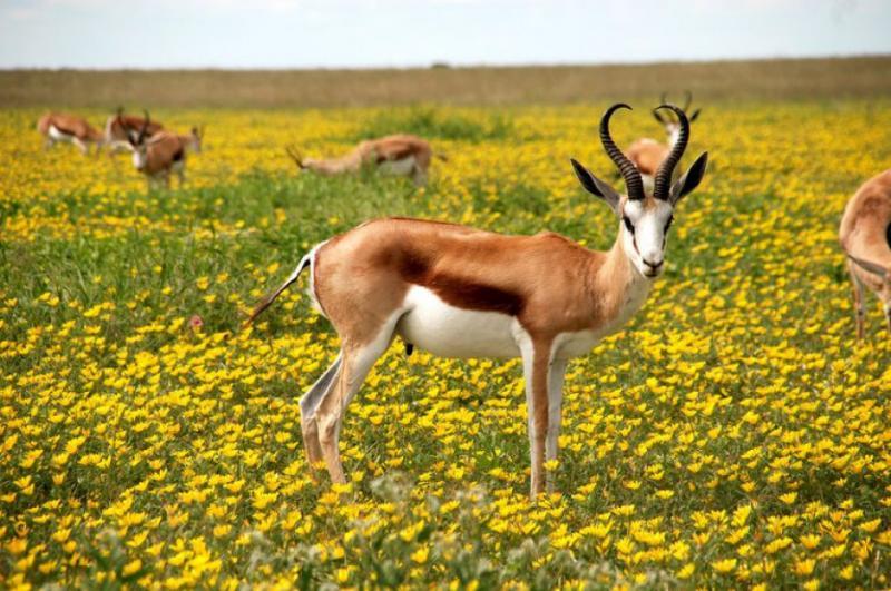 Україна експортуватиме антилоп до Китаю