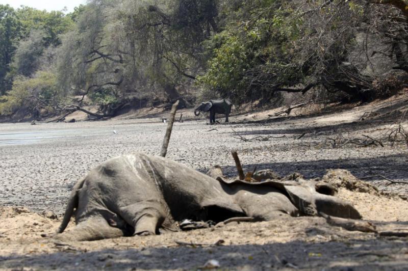 """Засуха у Зімбабве, що """"вбила"""" 105 слонів, може загрожувати людям"""